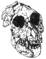 Рис. I. 2. Египтопитек - предок гоминоидов (олигоцен)