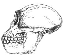 Рис. I. 4. Рамапитек из Вост. Африки - предавстралопитек