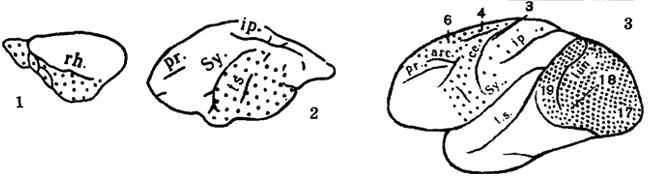 Рис. IV. 1. Цитоархитектонические карты мозга полуобезьян и низших обезьян. 1 - перохвостая тупайя, 2 - серый гапалемур, 3 - зеленая мартышка Условные обозначения Sу. - Сильвиева борозда, с.е. - Центральная борозда, ip. - Межтеменная борозда, lun. - Лунная борозда, рг. - Принципиальная главная борозда, rh. - Ринальная борозда, t.s. - Верхняя височная борозда, arc. - Дугообразная борозда