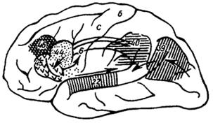 Рис. IV. 5. Схема организации специфически человеческой системы мозга, связанной с осуществлением членораздельной речи.