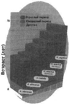 Рис. VI. 7. Соотношения отдельных фаз онтогенеза у различных представителей ископаемых гоминид