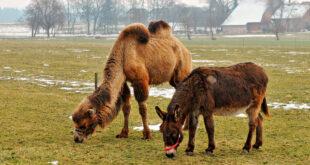donkey-and-camel